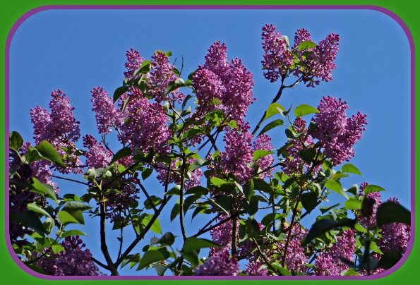 2021 Mothers Day lilacs 2