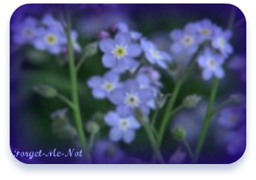 Forget Me Not flowers.jpg 1